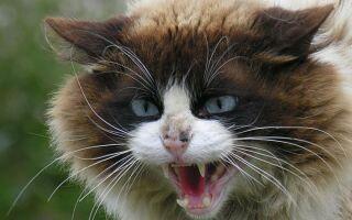 Бешенство у кошек: признаки, анализ, вакцина и опасность болезни для человека