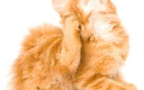 Как правильно почистить уши коту в домашних условиях и чем можно чистить