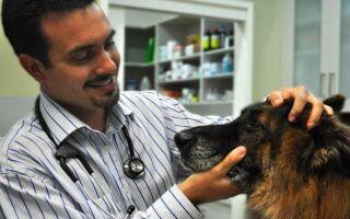 Симптомы и лечение (или удаление) катаракты у собак, советы ветеринара