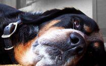 Панкреатит у собаки: признаки, лечение и кормление при острой и других формах болезни