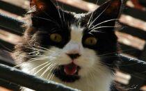 Как успокоить кошку во время течки: капли, таблетки, препараты