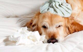 У собаки аллергия — как проявляется, что делать, лекарства и лечение
