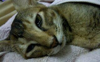 Чумка у кошек: симптомы, чем опасна, как передается лечение в домашних условиях