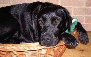 Ложная беременность у собаки, что делать: симптомы, препараты