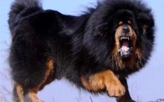 Самые дорогие породы собак в мире — фотографии и цены, топ-10