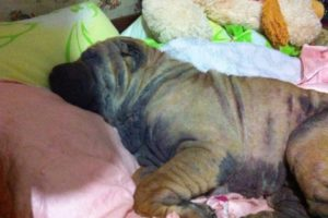 Как лечить акантодермию у собак