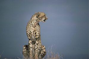 Гепард – быстрая хищная кошка