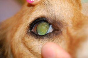 Катаракта у собак как лечить