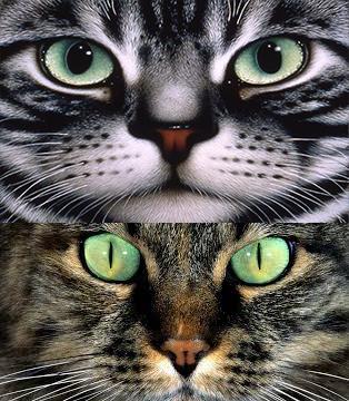 Зрачки у кошки при свете и темноте