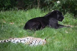 Леопард - дикая кошека