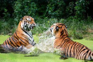 Играющие тигры