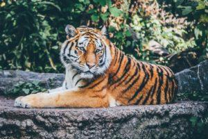 Тигр семейства кошачьих