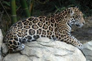 Ягуар - дикая кошка Америки