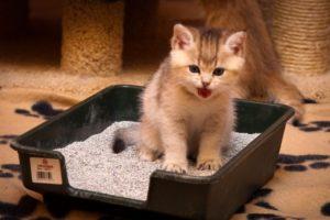 Обучаем котенка ходить в лоток