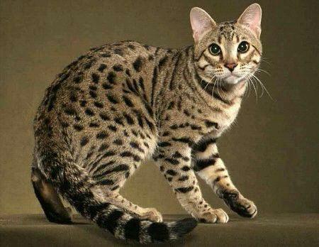 Кошка породы Аллерка