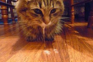Буйная форма бешенства у кошек