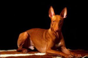 Собака Фараонова