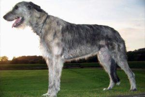 Порода Ирландский волкодав