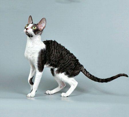 Корниш-Рекс порода котов