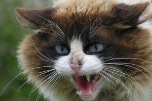 Болезнь бешенство у кошек.