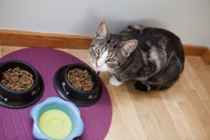 Выздоровление кошки после чумки