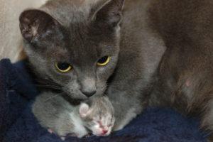 Кошка при родах - как помочь