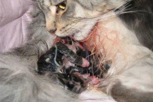Кошка только что родила котят
