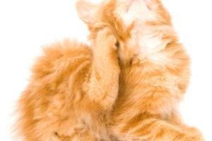 Ушной клещ, отит у кошки