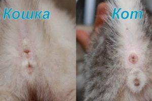 Пол котенка в маленьком возрасте