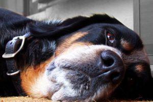 Собачий панкреатит