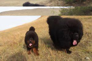Собака породы Тибетский мастиф