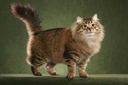 Сибирская кошка для алергиков