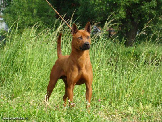 Порода собак Тайский риджбек