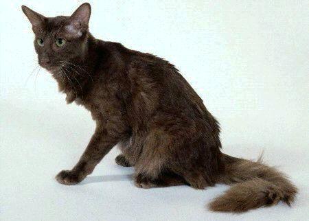 Кошка породы Яванская